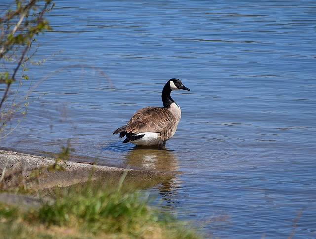 canadian goose on spider lake